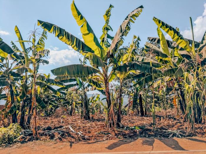 kigali cocoa trees
