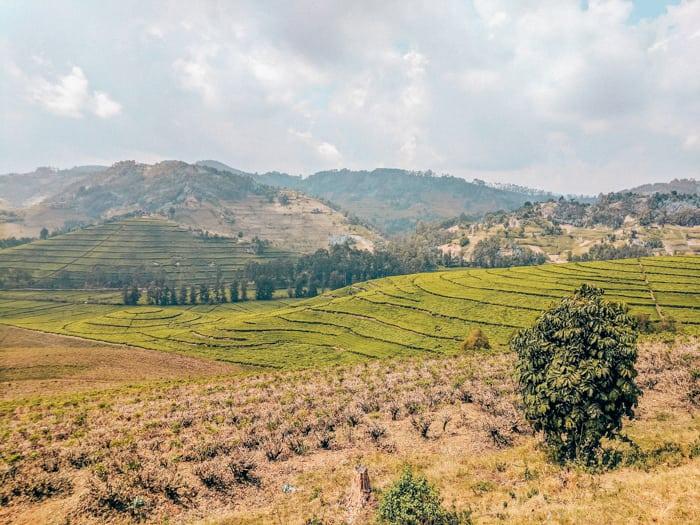 pfunda tea plantation rwanda