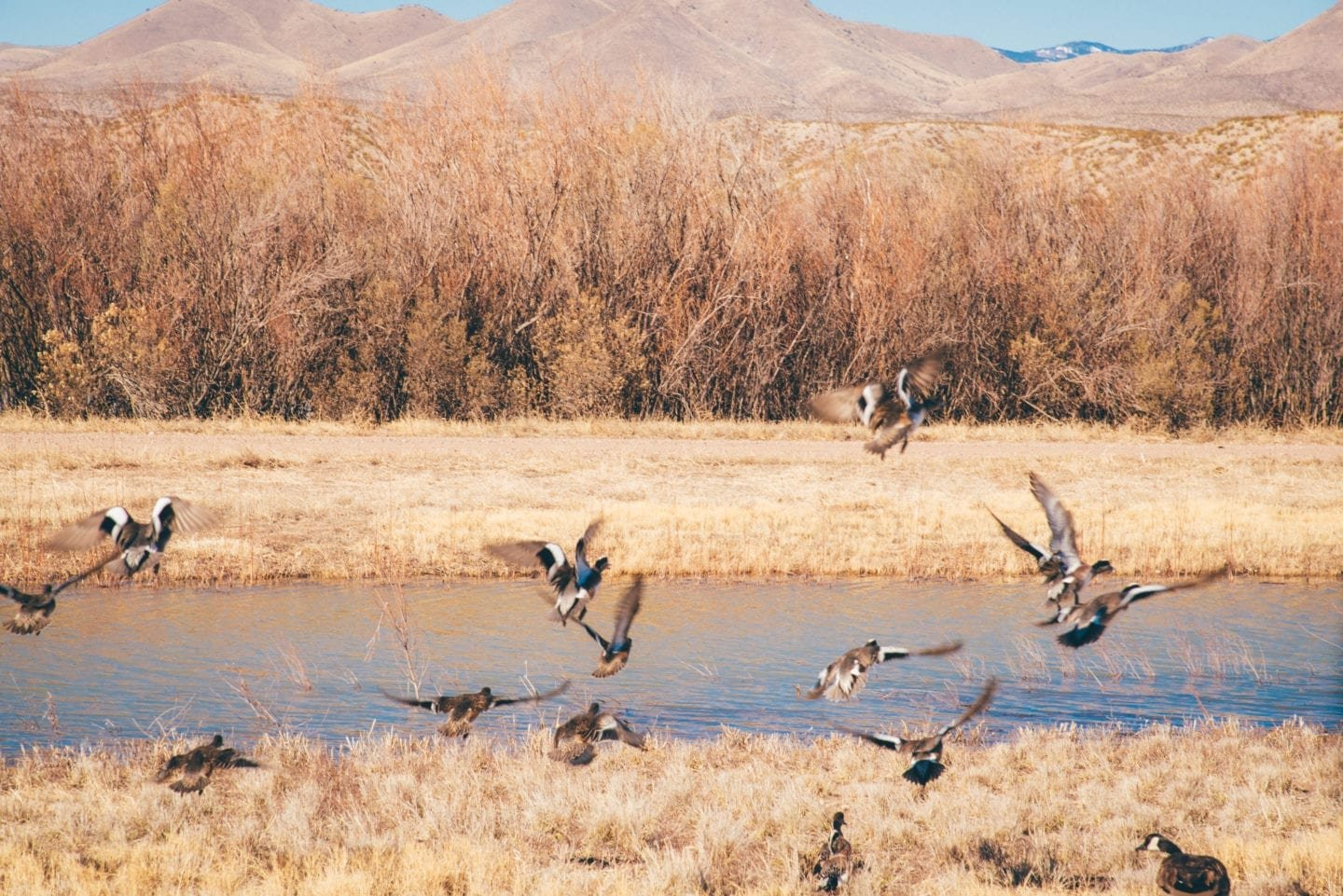 bosque del apache birds flying