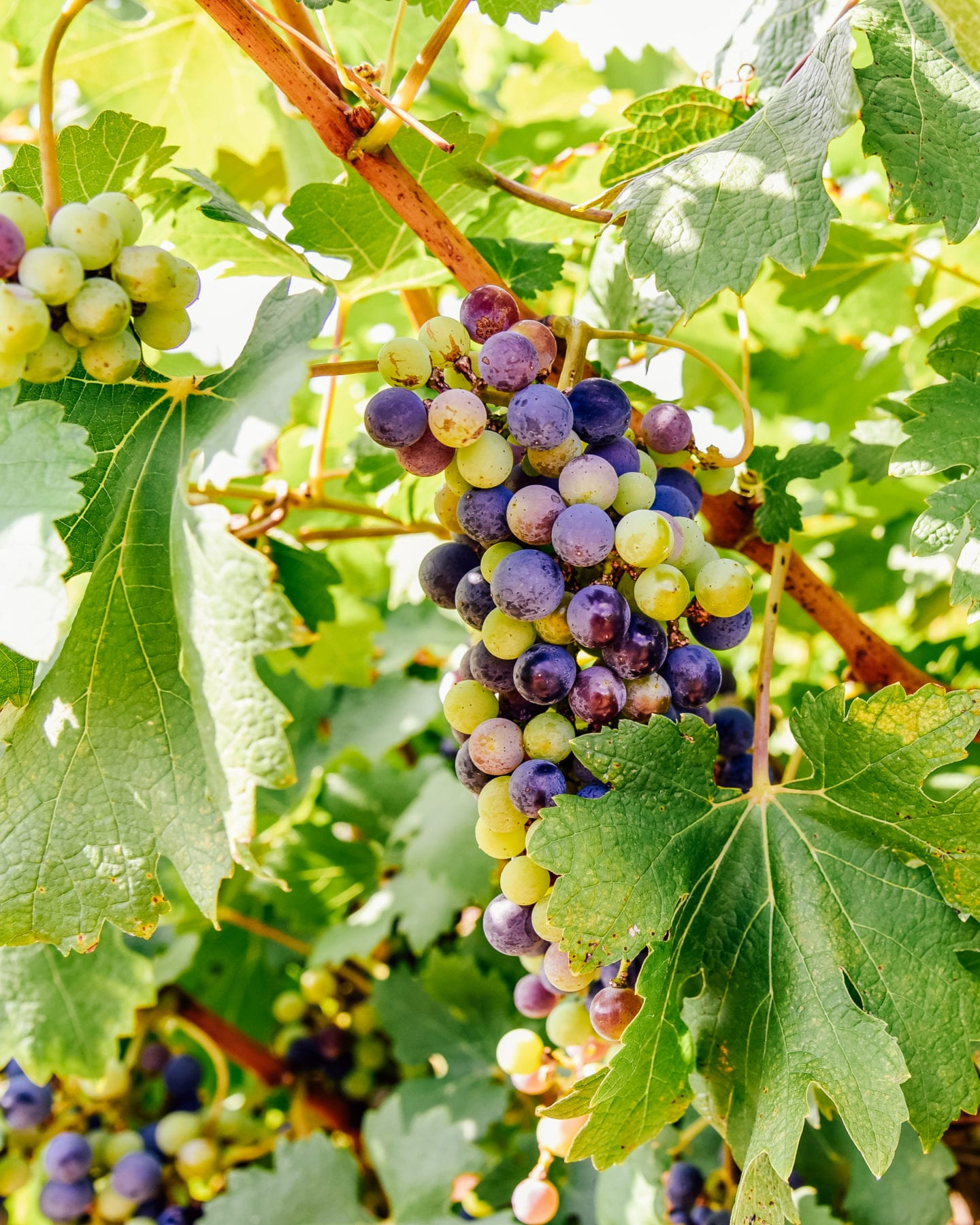 grapes and vineyards