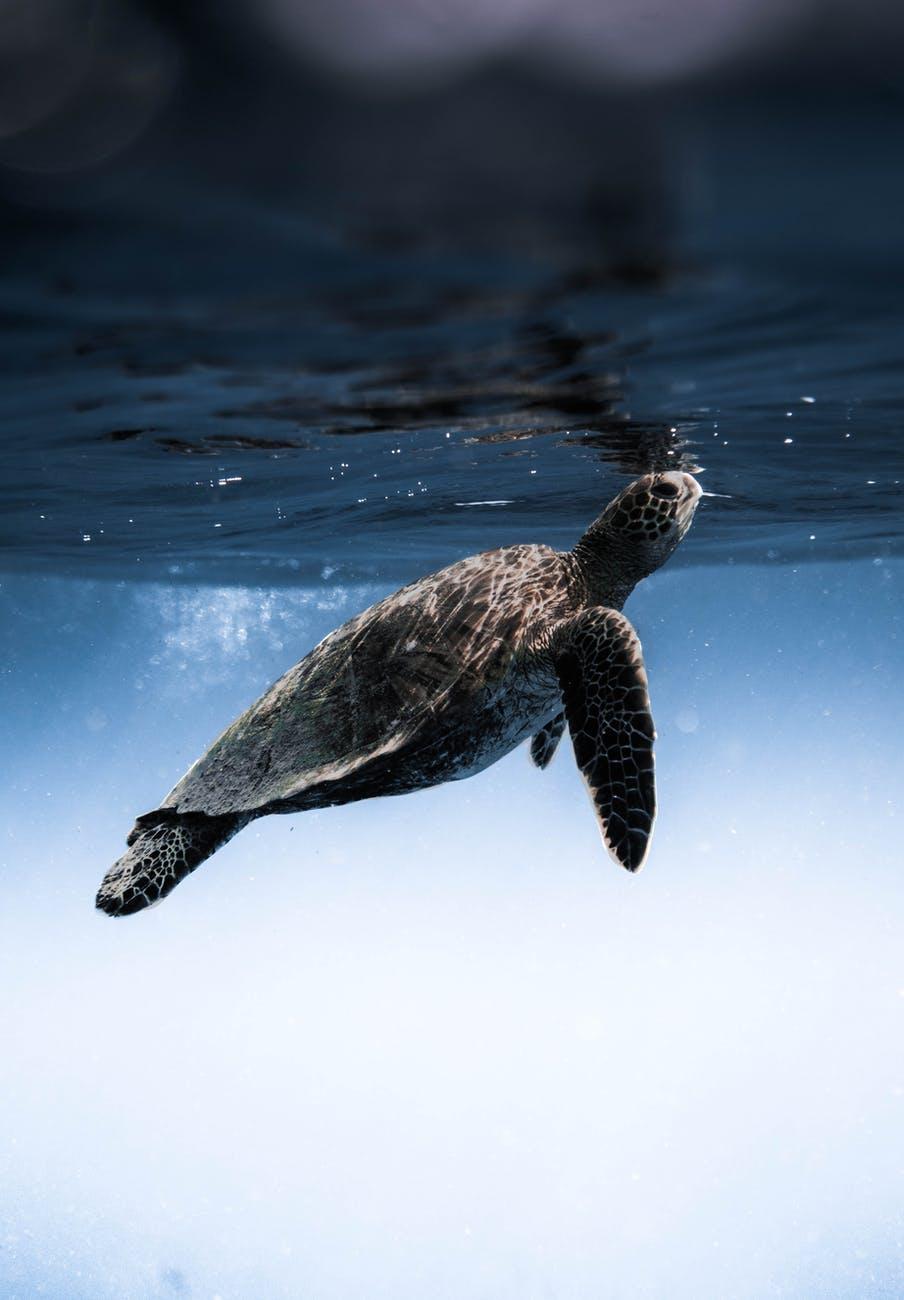 turtle floating under blue sea water